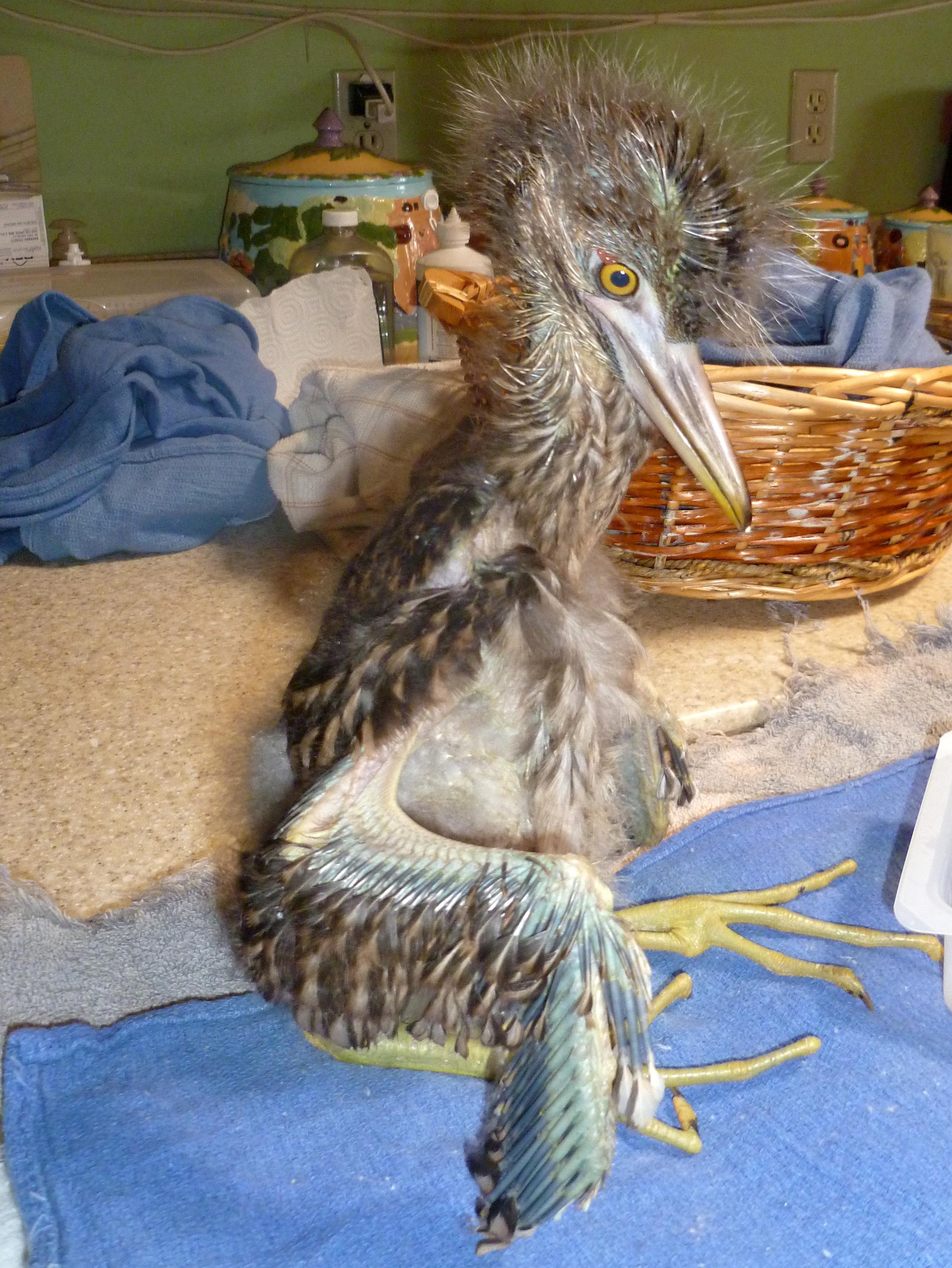 Black crowned night heron baby - photo#27