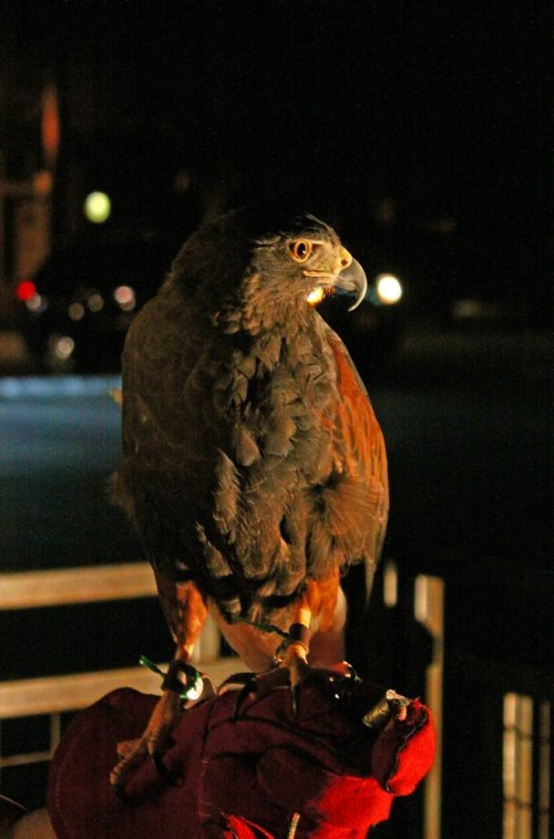 Citan the Harris Hawk