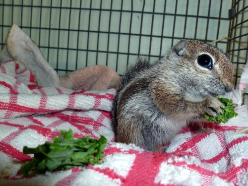 Harris' Antelope Squirrel munching on kale