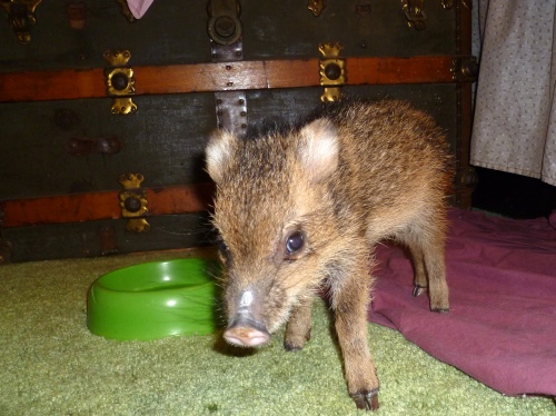 2-week old Javelina