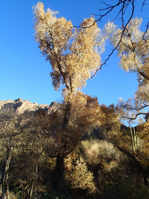 Cottonwood in Pima Canyon