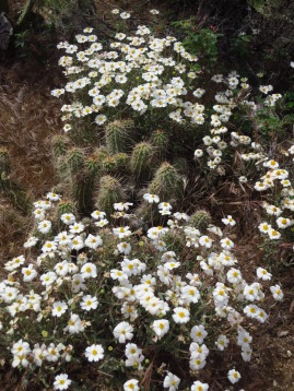 Like Blackfoot Daisy (Melampodium leucanthum) - it was NUTS!