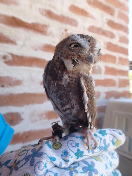 Elfie the Elf Owl