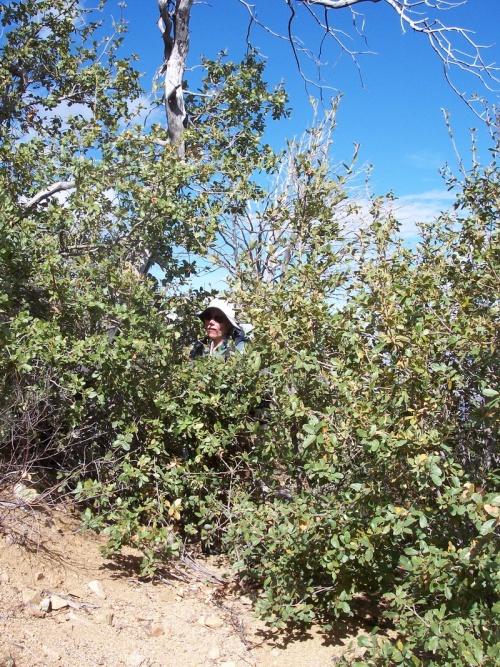 2008- Full-grown Manzanitas in the trail