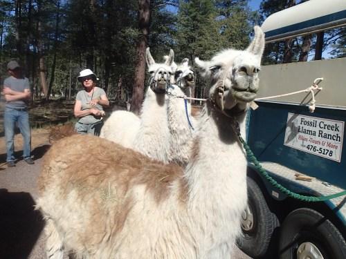 Joyce talks about the llamas