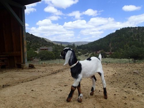 One of many baby goats at the Fossil Creek Creamery