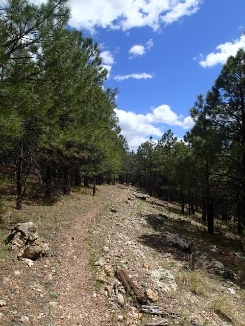 Singletrack through the pines