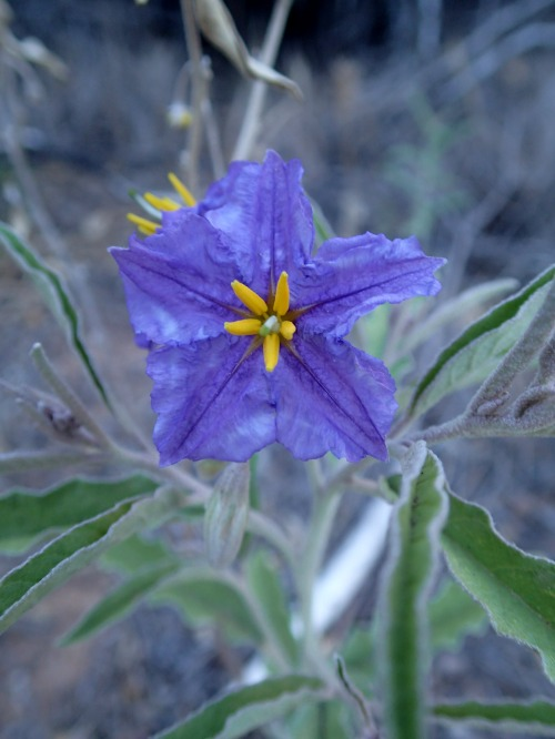 Purple Nightshade