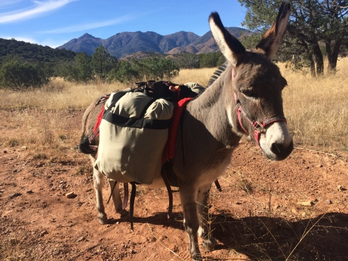 Jasmine the Mini-Donkey on the Arizona Trail in the Santa Ritas