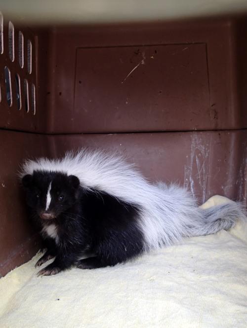 Hooded Skunk #2