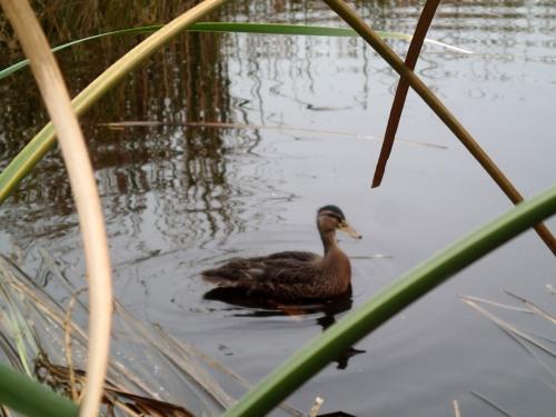 Duck release!
