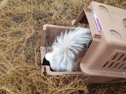 Skunk #1 was reluctant, so we took apart the carrier