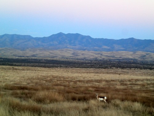 Antelope at Empire Ranch
