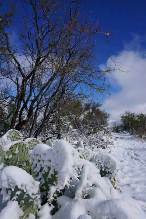 Snow on Prickly Pear