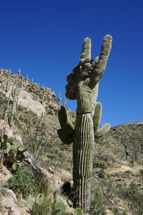 Crested Cactus #2