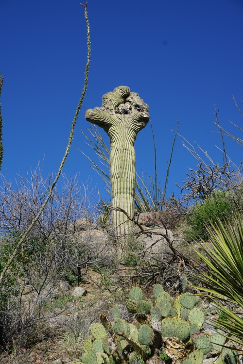Crested Saguaro #3