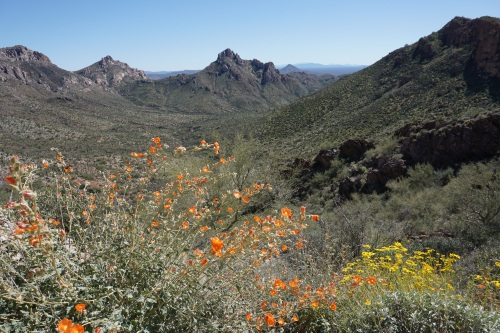 Globe Mallow and Brittlebush