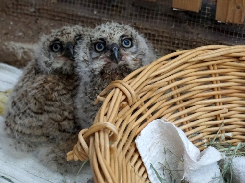 Same Great Horned Owls a week later