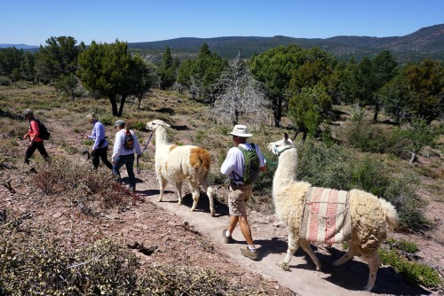 On the trail with Llamas from the Fossil Creek Ranch