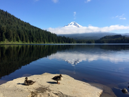 Ducklings at Trillium Lake