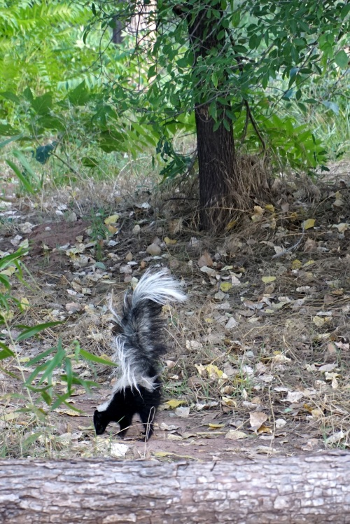 An earlier skunk sighting along the Verde