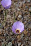Mariposa lilies, Escalante Route