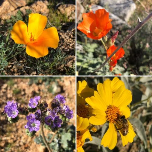 Gila River Canyons Flowers AZT