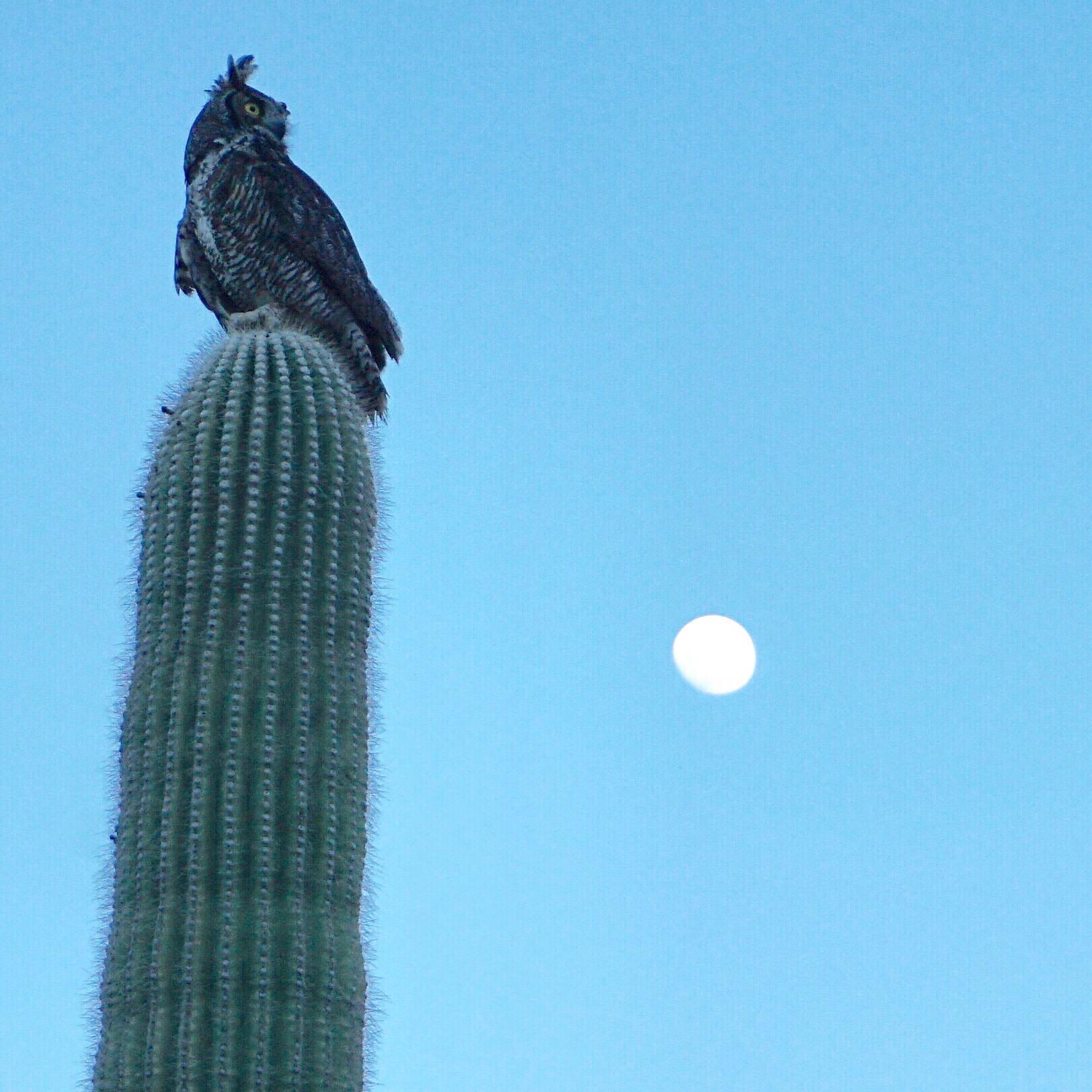 An owl sits atop a Saguaro cactus with the moon visible